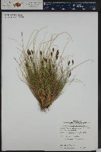Carex micropoda image