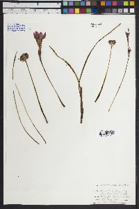 Image of Zephyranthes carinata