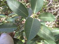 Ficus insipida image