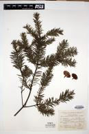 Image of Abies religiosa