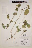 Ruellia paniculata image