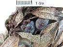 Aextoxicon punctatum image