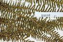 Diplopterygium bancroftii image