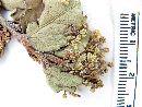 Schinus montanus image
