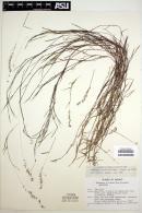 Aegopogon cenchroides image
