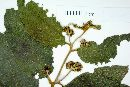 Cordia polycephala image