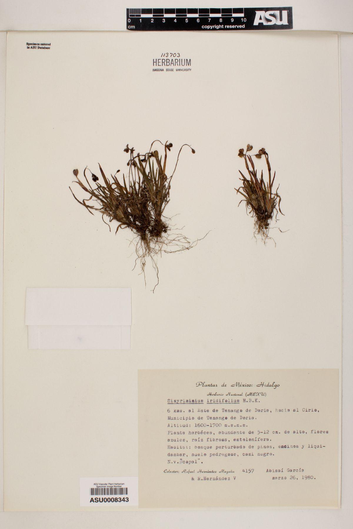Sisyrinchium iridifolium image
