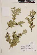 Amomyrtus meli image