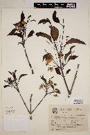 Campomanesia xanthocarpa image