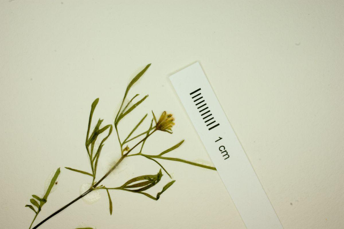Bidens lemmonii image