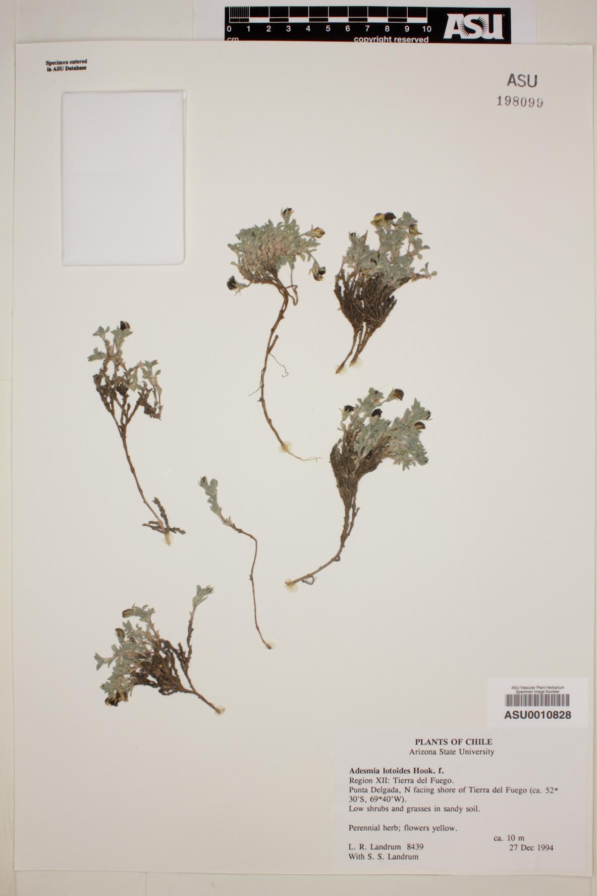 Adesmia lotoides image