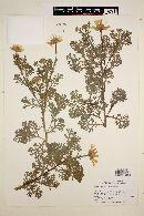 Chrysanthemum coronarium image