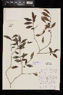 Psidium oligospermum image