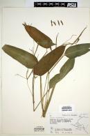Maranta arundinacea image