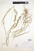 Polypogon elongatus image
