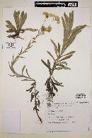 Gnaphalium cheiranthifolium image