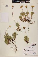 Haplopappus bellidifolius image