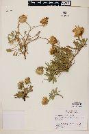 Haplopappus prunelloides image