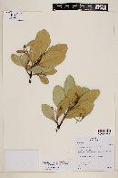 Pimenta pseudocaryophyllus var. fulvescens image