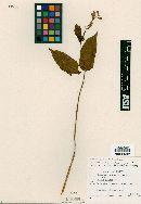 Image of Salvia subpatens