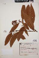 Nectandra rigida image