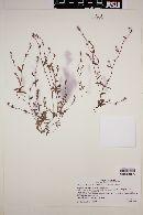 Plagiobothrys tinctorius image