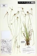 Rhynchospora nervosa image