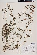 Lotus angustifolius image
