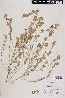 Lotus argophyllus image