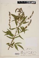 Psoralea glandulosa image