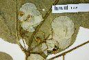 Mascagnia ovatifolia image