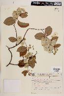 Mascagnia sepium image