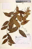 Hirtella gracilipes image