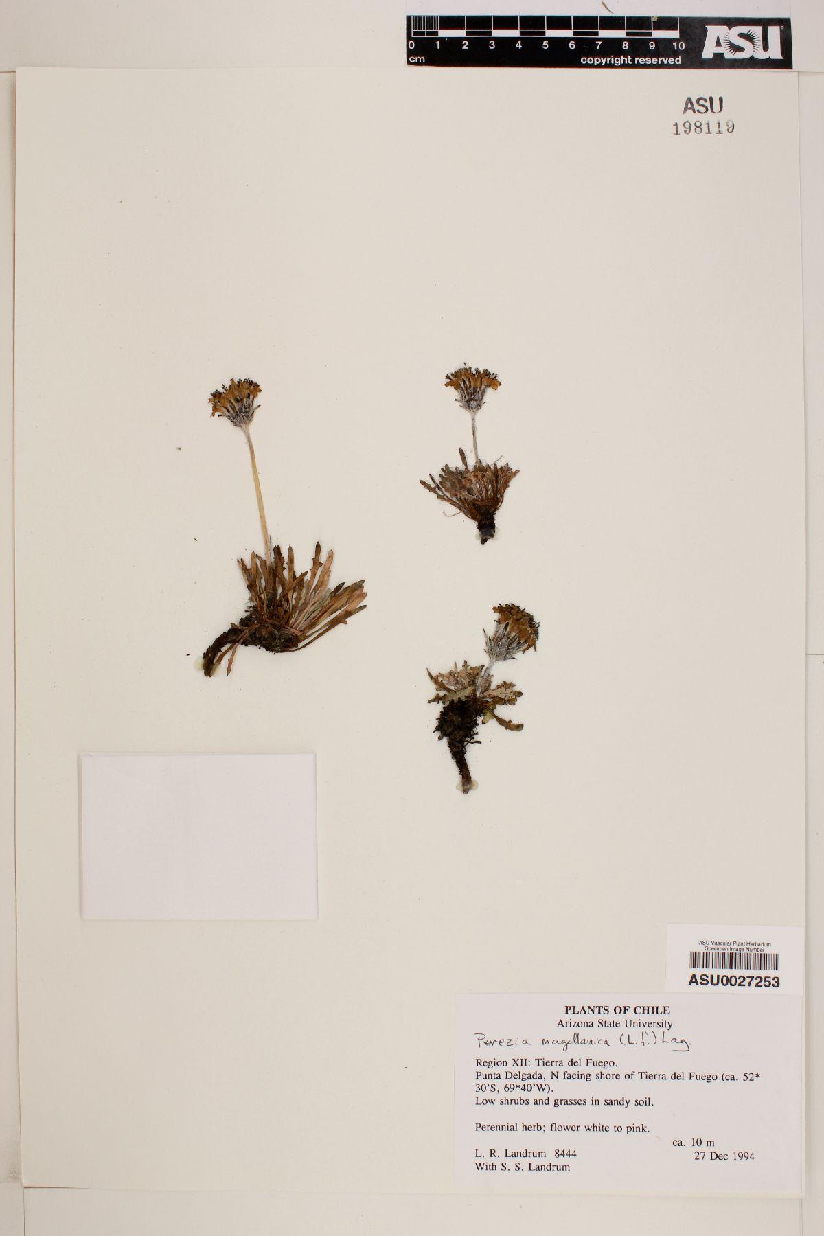 Perezia magellanica image