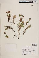 Perezia recurvata image