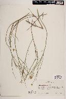 Porophyllum scoparium image