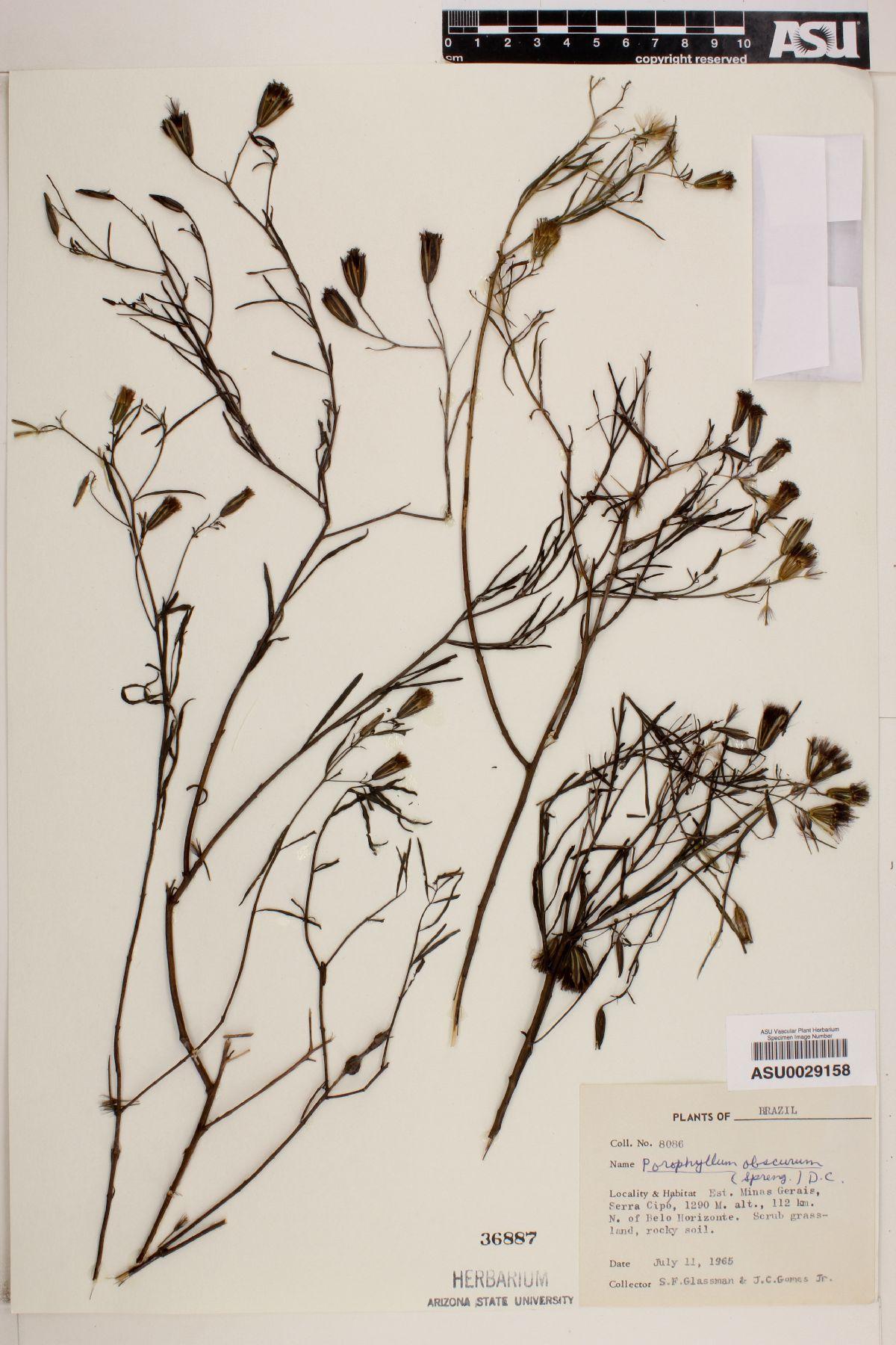 Porophyllum porophyllum image