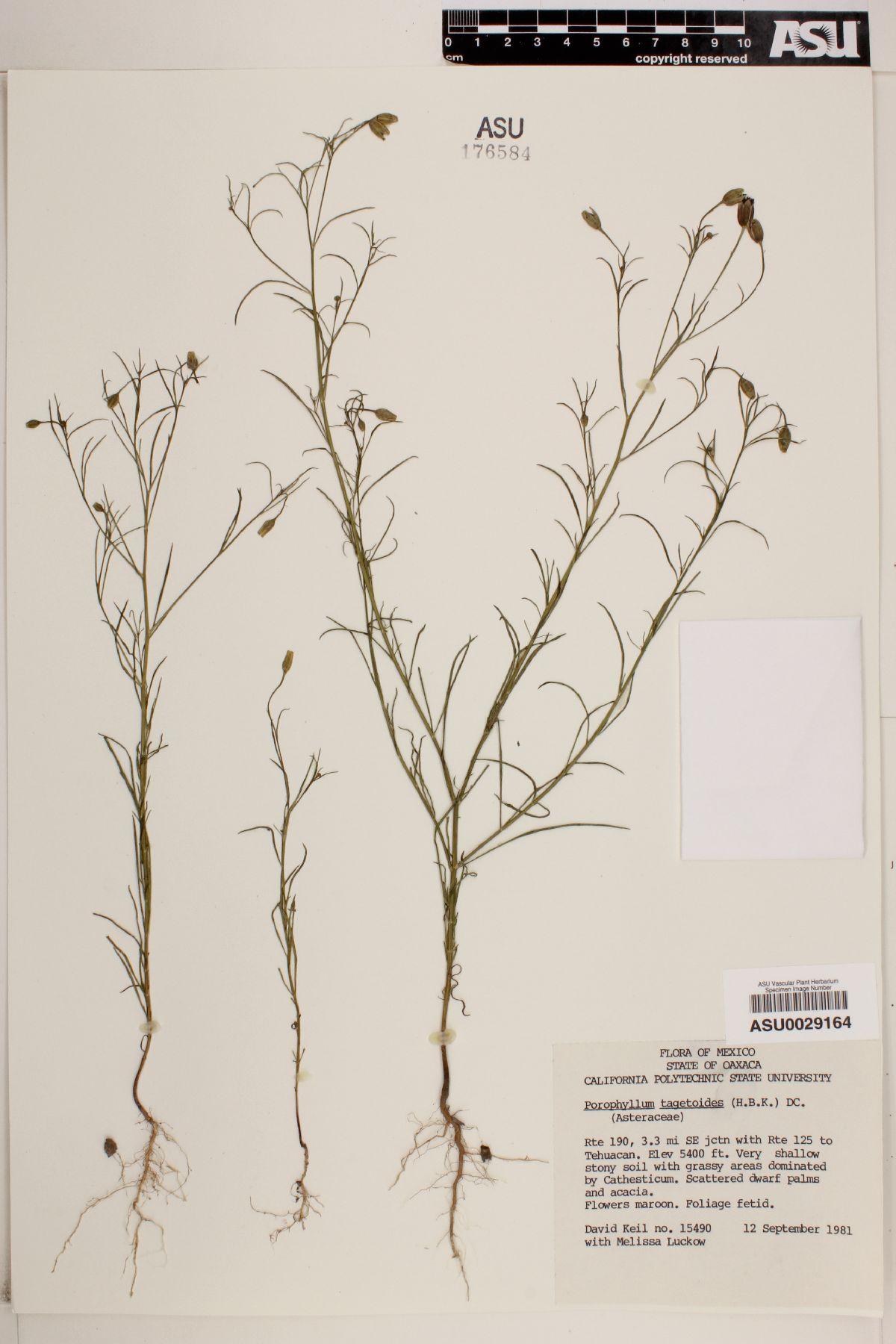 Porophyllum tagetoides image