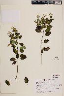 Porophyllum viridiflorum image