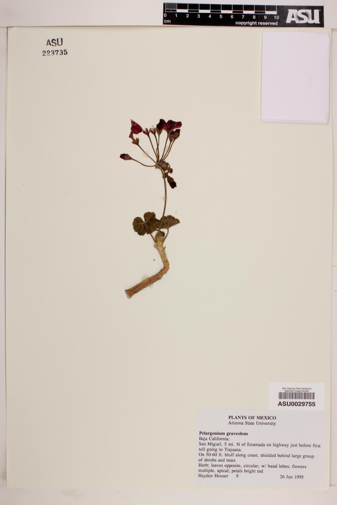 Pelargonium graveolens image