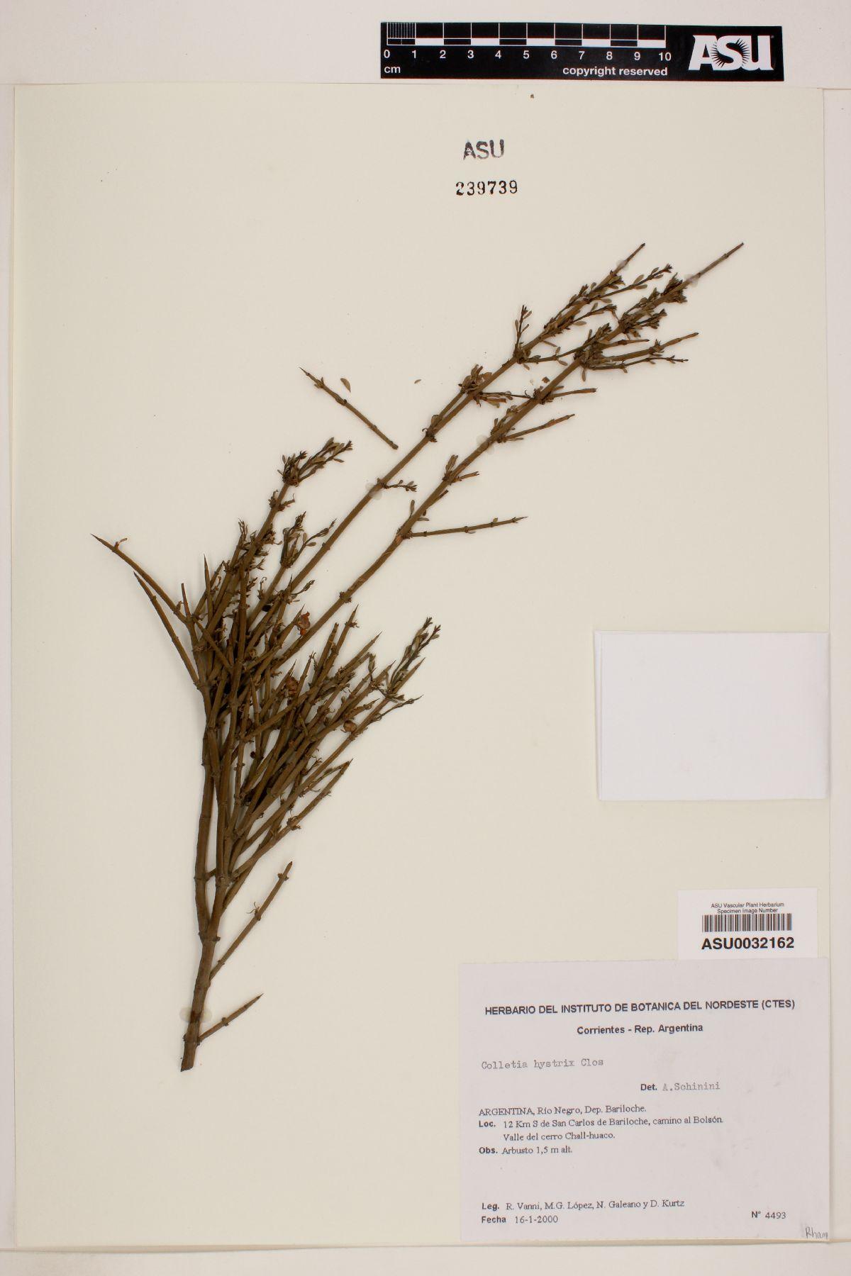 Colletia hystrix image