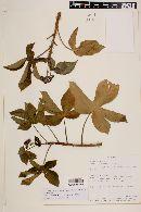 Jatropha gossypiifolia image