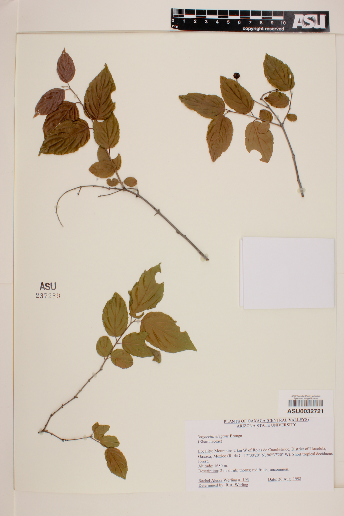 Sageretia elegans image