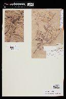 Myrceugenia myrtoides image