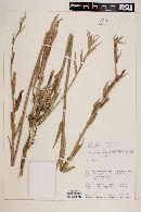 Oenothera affinis image