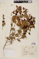 Eugenia moraviana image