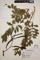 Gliricidia sepium image