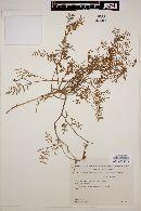 Glycyrrhiza astragalina image