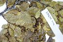Nothofagus betuloides image