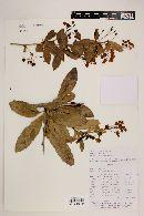 Berberis ciliaris image